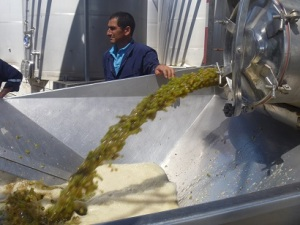 Fire hose of chardonnay grapes, machine harvested.