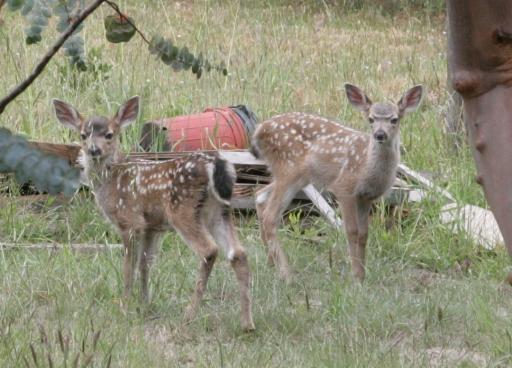 Deer-006