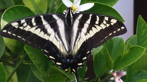 7.3.15 pale swallowtail -002
