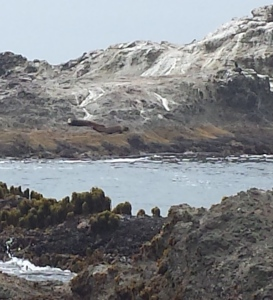 7.9.15 ca sea lion caspar headlands-003