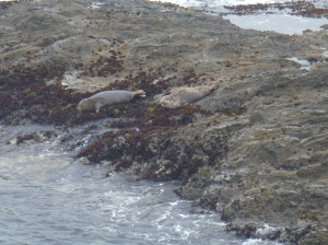 harbor seals russian gulch-003