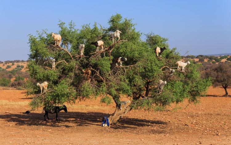 tree-climbing-goats-morocco-woe1
