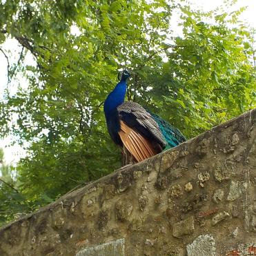 Every castle needs a peacock--except when they cry like a dying cow.