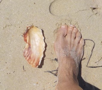 A scallop as big as my foot.