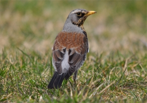 https://llywindatravels.files.wordpress.com/2016/06/57060-fieldfare1.jpg?w=297&h=209