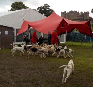 """Hounds still root out """"problem animals"""" on farms, even though fox hunting is banned."""