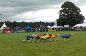 And they're off!!  More sheep races.