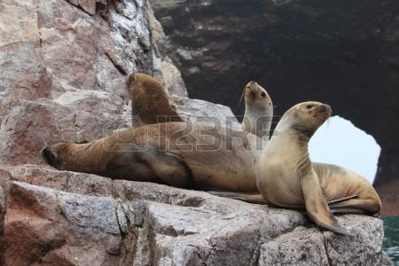 24052668-seals-islas-ballestas-peru