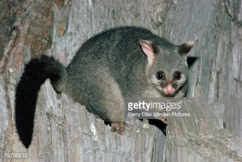 Brush tailed Possum--note bushy tail