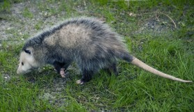 Opossum--note skinny tail, pointed head