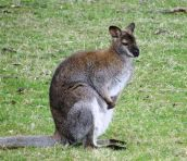bennets wallaby tas