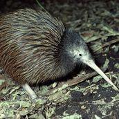 birds online kiwi n is sm