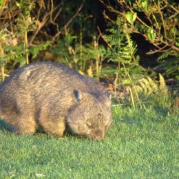 wombat-narawntapu
