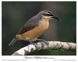 female riflebird