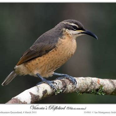 female riflebird